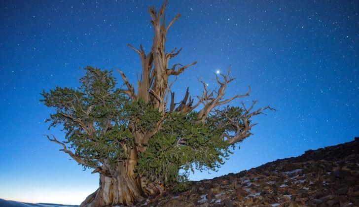 The Methuselah tree at night