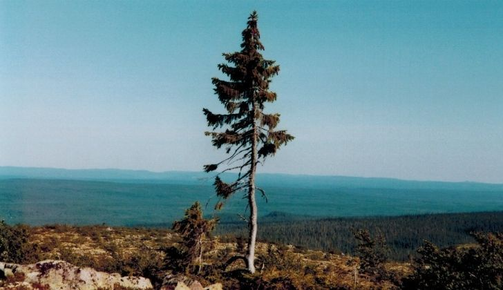Old Tjikko standing tall on its own