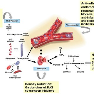 The pathophysiology of sickle cell disease and sites where drug... |  Download Scientific Diagram