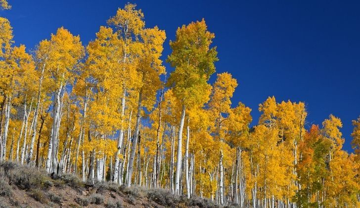 Gorgeous Pando tree with a long white trunk and golden foliage