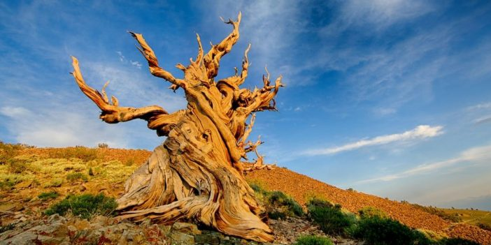 Seven oldest trees in the world