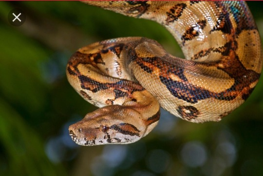 What Kind Of Snake Is Boa Constrictor Opera News