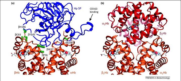 Haptoglobin: the hemoglobin detoxifier in plasma: Trends in Biotechnology