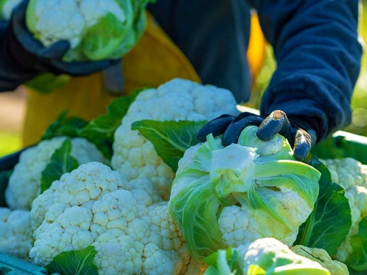 How to Plant Cauliflower this Fall