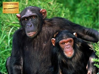 cote-ivoire-6-singes