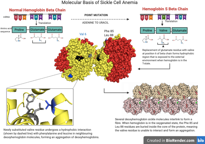 My first graphical abstract on the molecular basis of sickle cell anemia,  any tips for improvement?: Biochemistry