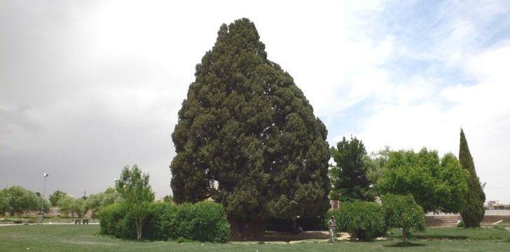 Sarv-e Abarkuh green tree