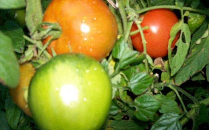 Savor the taste of fresh garden tomatoes   Jamestown Sun